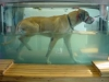 great-dane-in-treadmill_250x188