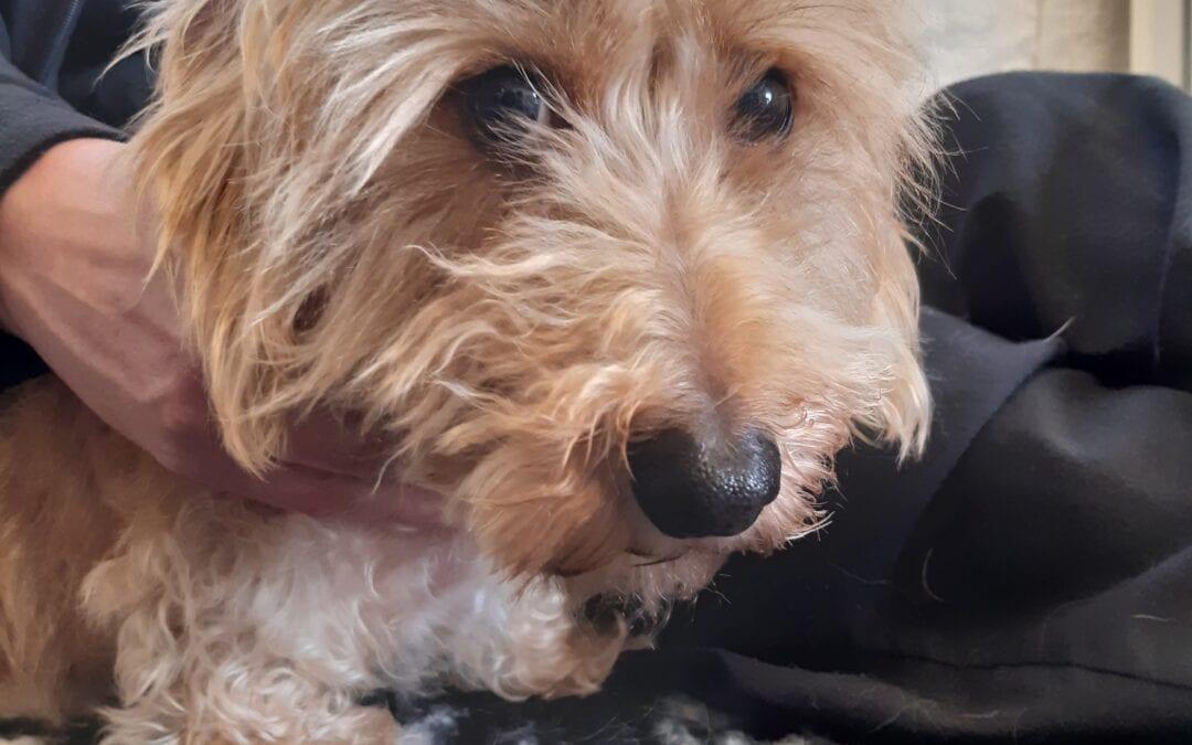 Albert – 5 year old male miniature dachshund